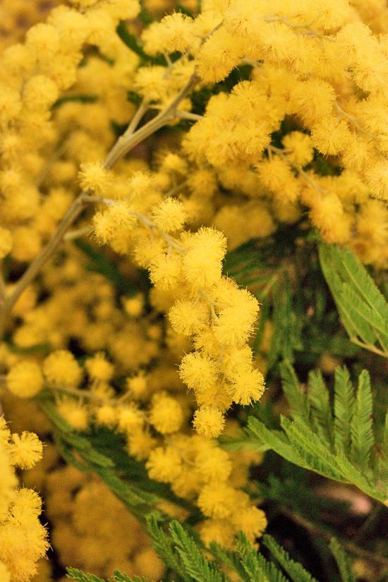 2013-04-28-Mimosa-John-Austin-New-Covent-Garden-Flower-Market-Flowerona-1.jpg?mtime=20170929143203#asset:12324
