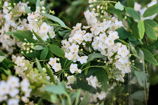 2013-04-4-Spirea-GB-Foliage-New-Covent-Garden-Flower-Market-Flowerona-1.jpg?mtime=20170929143148#asset:12300