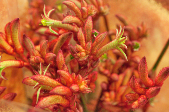 2013-04-9-Red-Kangaroo-Paw-Dennis-Edwards-New-Covent-Garden-Flower-Market-Flowerona.jpg?mtime=20170929143151#asset:12305