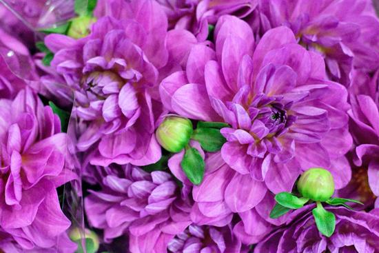 New-Covent-Garden-Flower-Market-August-Market-Report-Flowerona-20.jpg?mtime=20170913121033#asset:10106