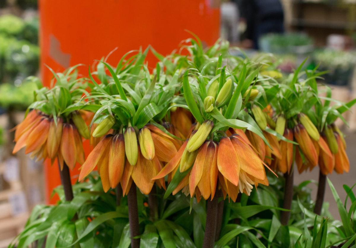 New Covent Garden Flower Market April 2016 Market Report Flowerona Hr 17