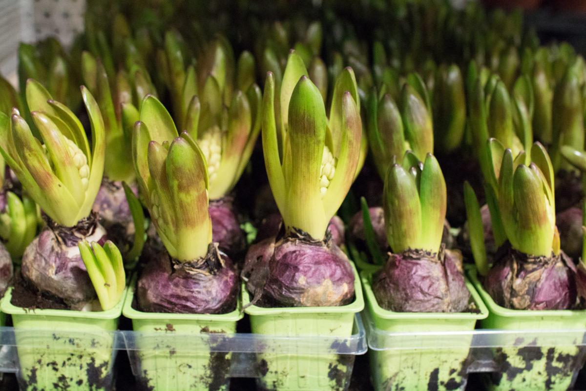 New Covent Garden Flower Market April 2016 Market Report Flowerona Hr 21