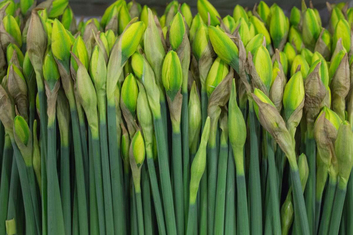 New Covent Garden Flower Market April 2017 Market Report Rona Wheeldon Flowerona British Apotheose Daffodils At Pratley