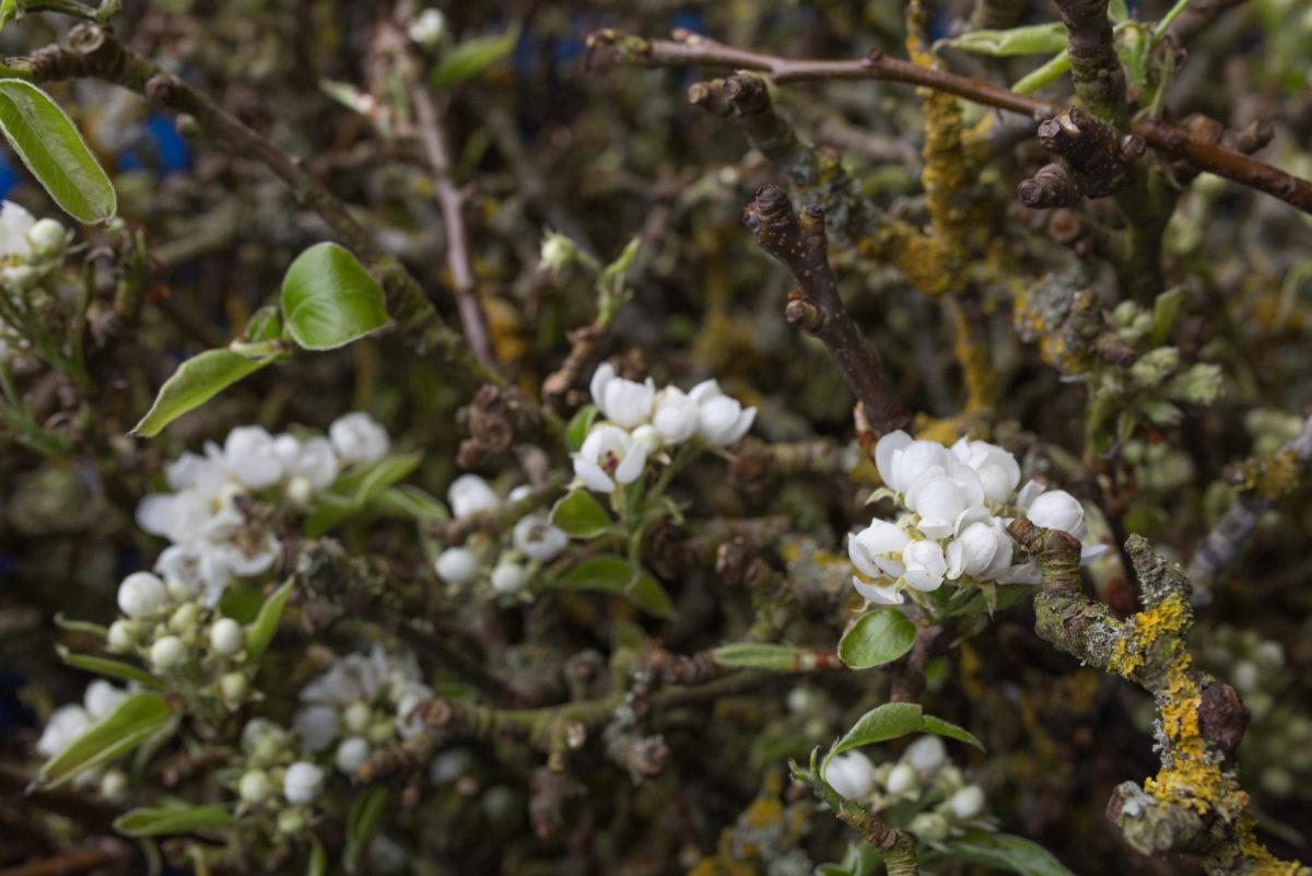 New Covent Garden Flower Market April 2017 Market Report Rona Wheeldon Flowerona British Pear Blossom At Porters