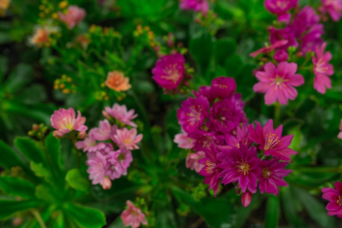 New Covent Garden Flower Market April 2017 Market Report Rona Wheeldon Flowerona Lewisia Cotyledon At Quality Plants
