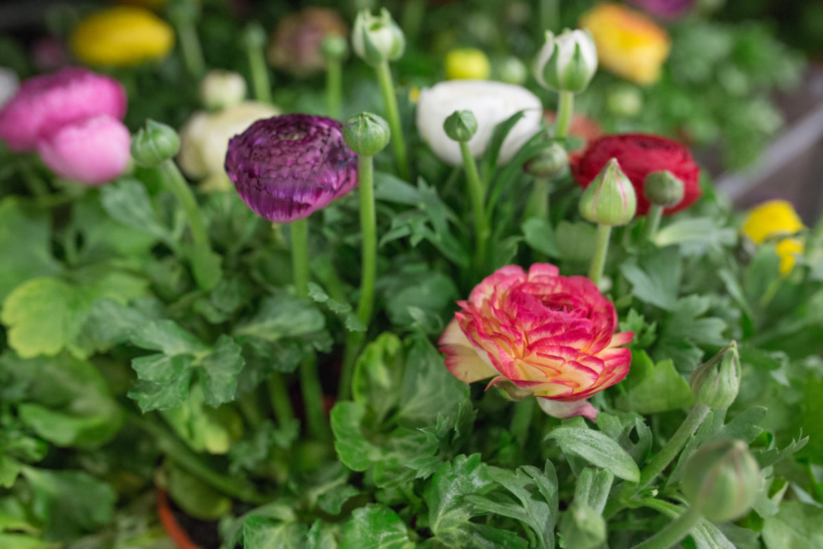New Covent Garden Flower Market April 2017 Market Report Rona Wheeldon Flowerona Ranunculus Plants At Evegreen