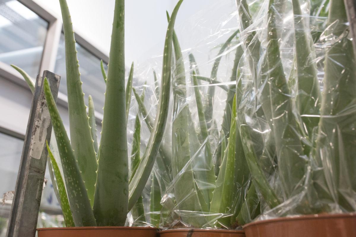 New Covent Garden Flower Market August 2017 Flower Market Report Rona Wheeldon Flowerona Aloe Vera Plants At Arnott Mason 32