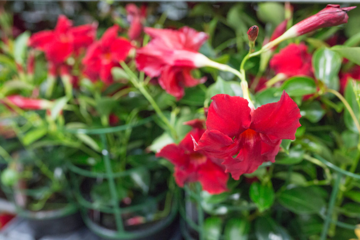 New Covent Garden Flower Market August 2017 Flower Market Report Rona Wheeldon Flowerona British Mandevilla Hybrida Plants At L Mills 23