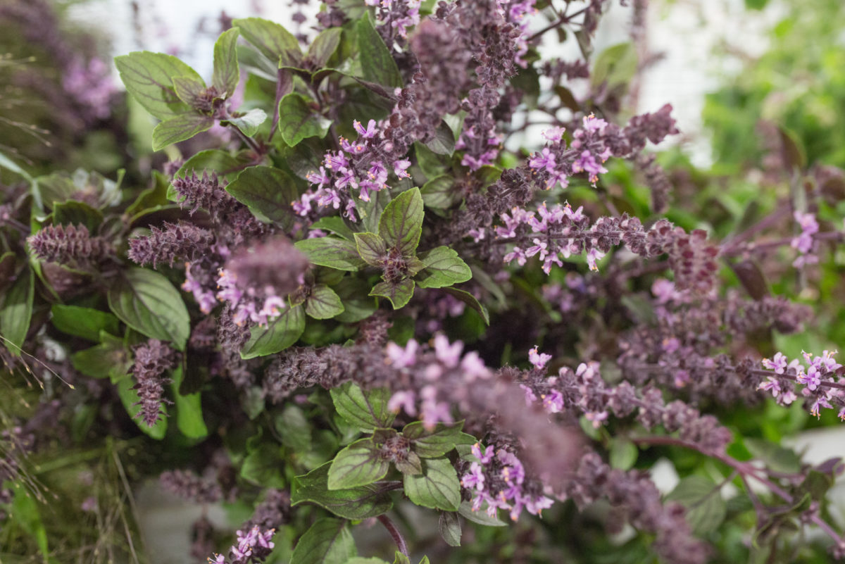 New Covent Garden Flower Market August 2017 Flower Market Report Rona Wheeldon Flowerona British Purple Basil At Porters Foliage 20