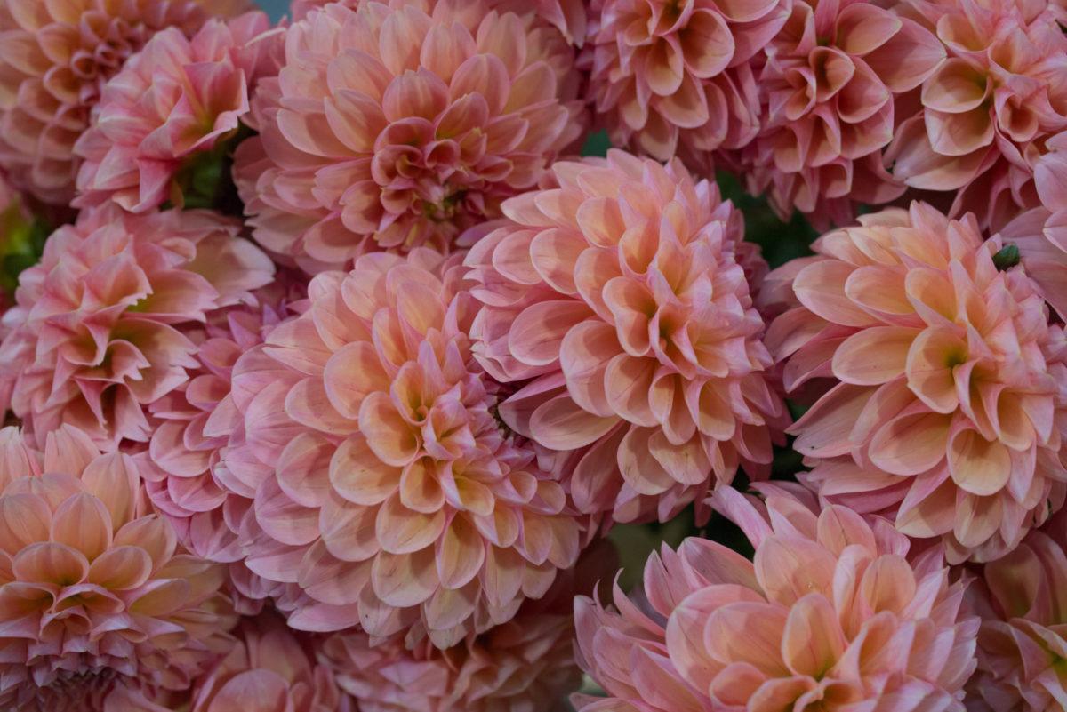 New Covent Garden Flower Market August 2017 Flower Market Report Rona Wheeldon Flowerona Lindaôçös Baby Dahlias At Zest Flowers 1