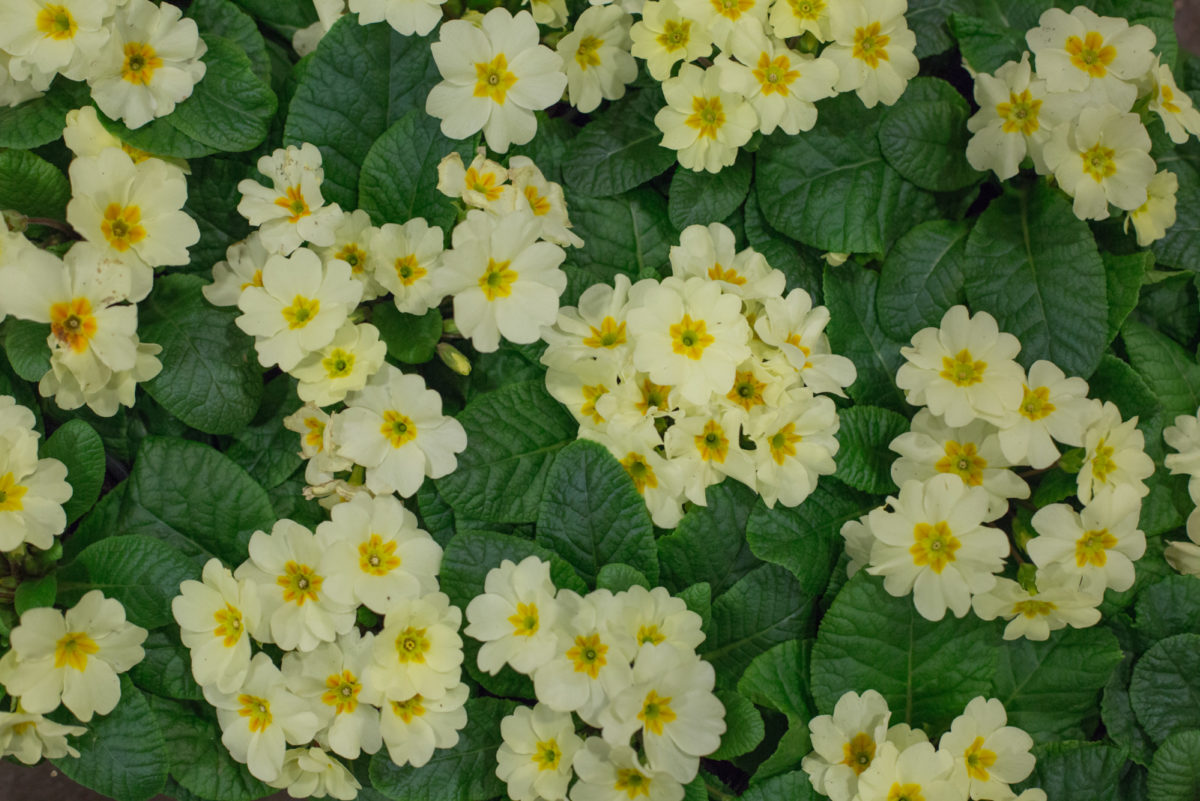 New Covent Garden Flower Market February 2017 Market Report Flowerona High Res Primula Vulgaris Common Name Primroses At L Mills British