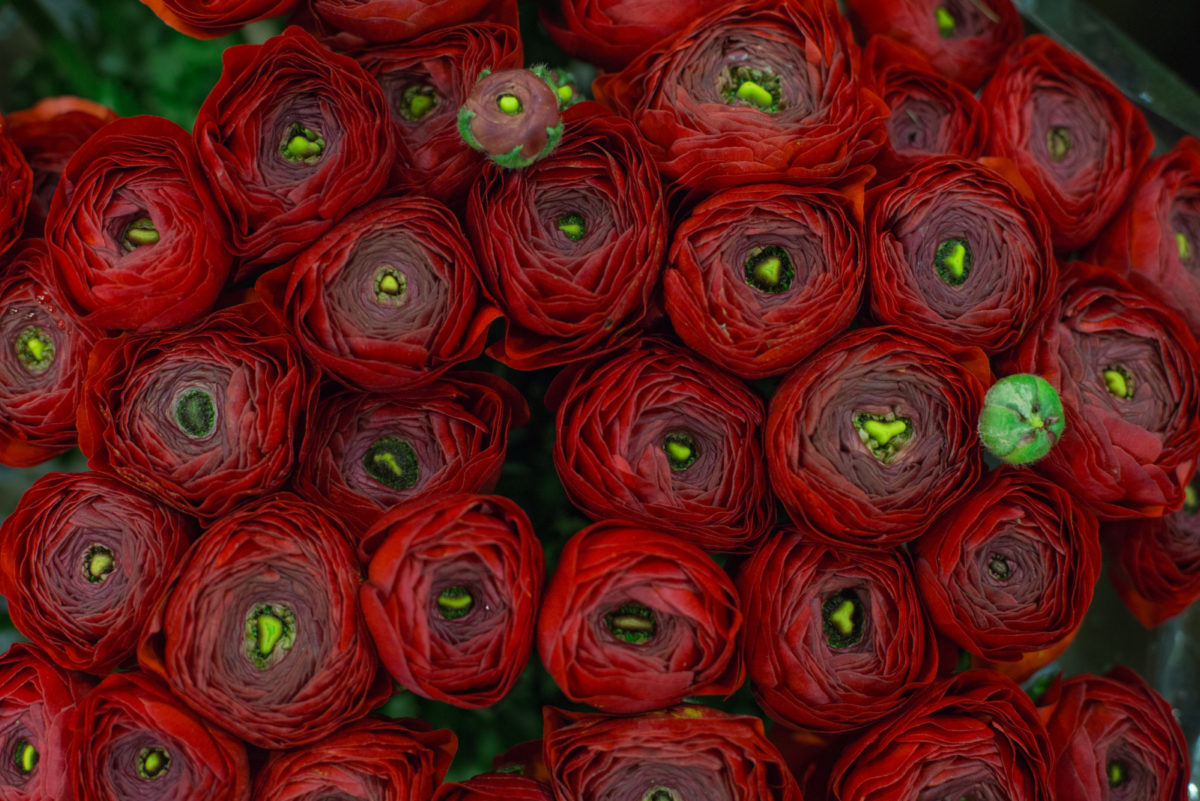 New Covent Garden Flower Market February 2017 Market Report Flowerona High Res Red Ranunculus At Dennis Edwards Flowers