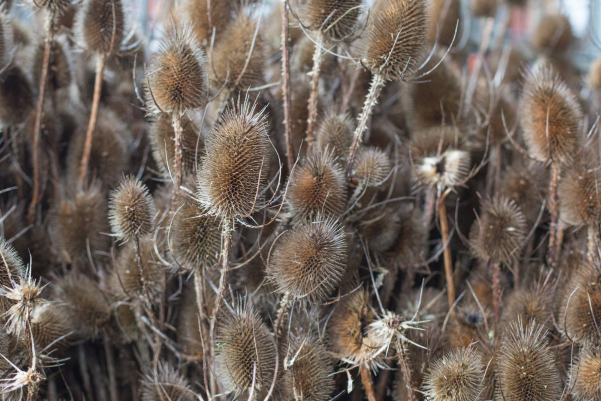 New Covent Garden Flower Market February 2017 Market Report Flowerona High Res Teasels At Porters Foliage British