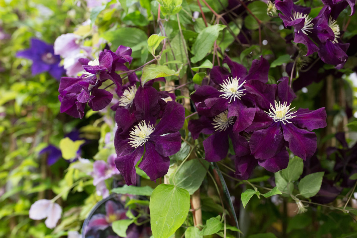 New Covent Garden Flower Market Flower Market Report June 2017 Rona Wheeldon Flowerona 6Ft Clematis Plants At Quality Plants