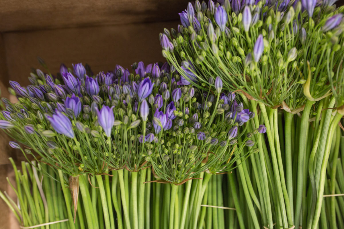 New Covent Garden Flower Market Flower Market Report June 2017 Rona Wheeldon Flowerona British Brodiaea Triteleia At Pratley