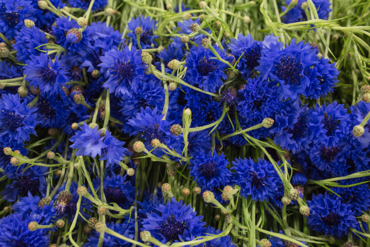 New Covent Garden Flower Market Flower Market Report June 2017 Rona Wheeldon Flowerona British Cornflowers At Pratley