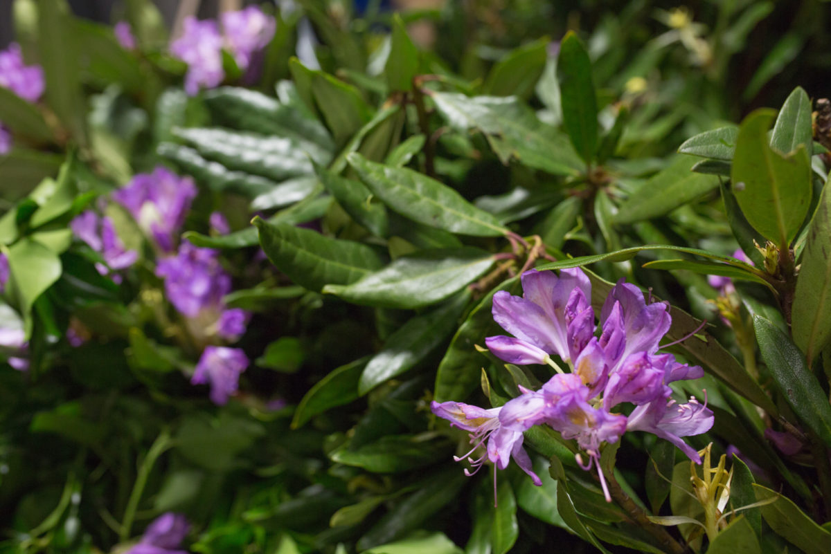 New Covent Garden Flower Market Flower Market Report June 2017 Rona Wheeldon Flowerona British Rhododendron In Flower At Porters Foliage