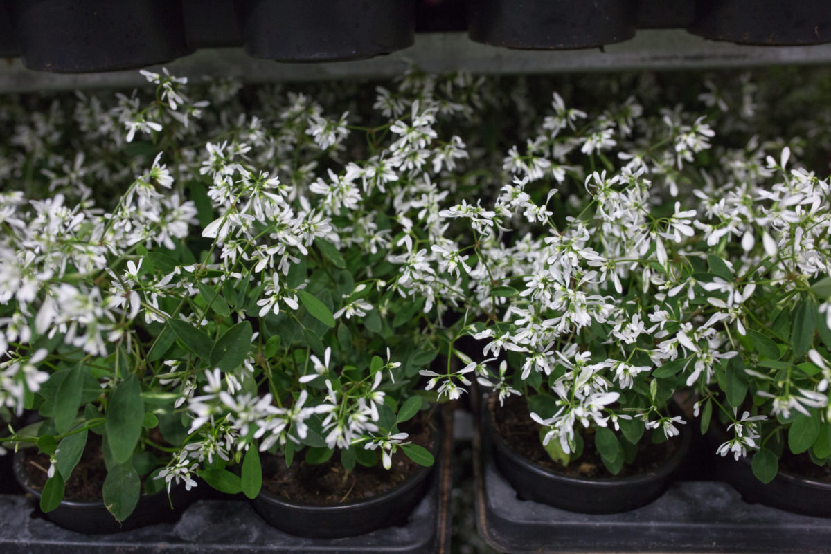 New Covent Garden Flower Market Flower Market Report June 2017 Rona Wheeldon Flowerona British White Euphorbia Plants At L Mills
