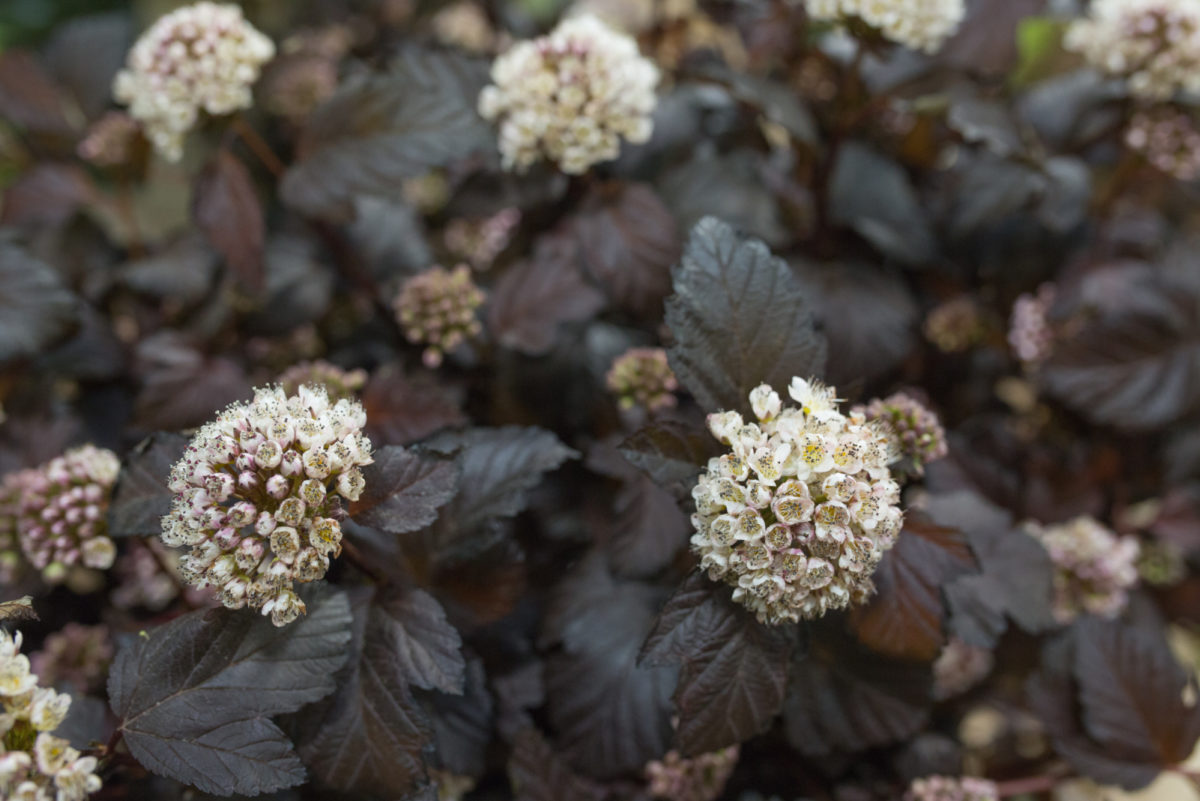 New Covent Garden Flower Market Flower Market Report June 2017 Rona Wheeldon Flowerona Physocarpus Opulifolius Diablo At Bloomfield