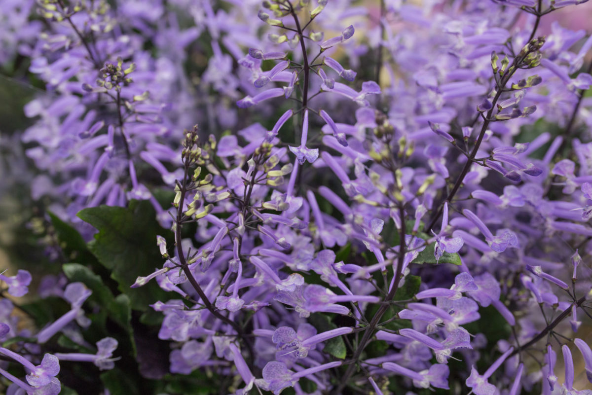 New Covent Garden Flower Market Flower Market Report June 2017 Rona Wheeldon Flowerona Plectranthus Mona Lavender At Bloomfield