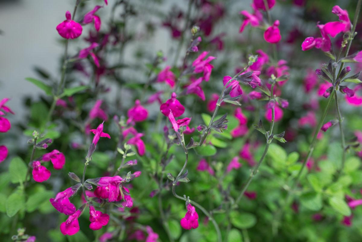 New Covent Garden Flower Market Flower Market Report June 2017 Rona Wheeldon Flowerona Salvia Greggii Ôçÿ Savannah Purpleôçö Plants At Evergreen