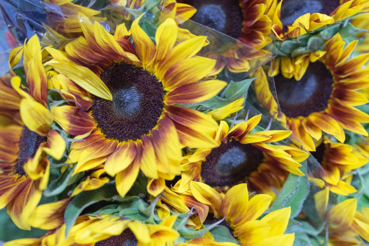 New Covent Garden Flower Market Flower Market Report June 2017 Rona Wheeldon Flowerona Sunflowers Helianthus Annuus Ôçÿ Flameôçö At Zest Flowers