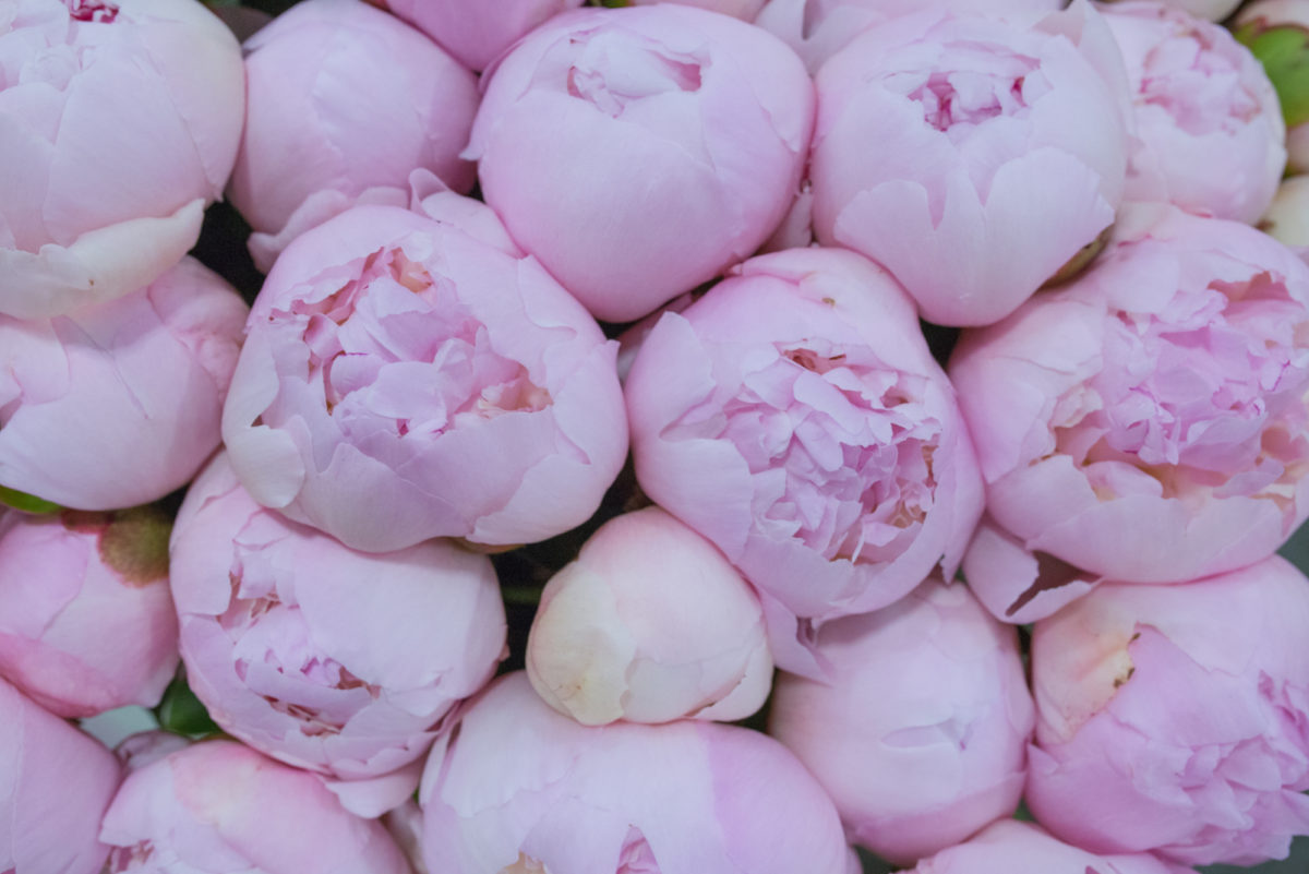 New Covent Garden Flower Market July 2017 Flower Market Report Rona Wheeldon Flowerona Angel Cheeks Peonies At Bloomfield