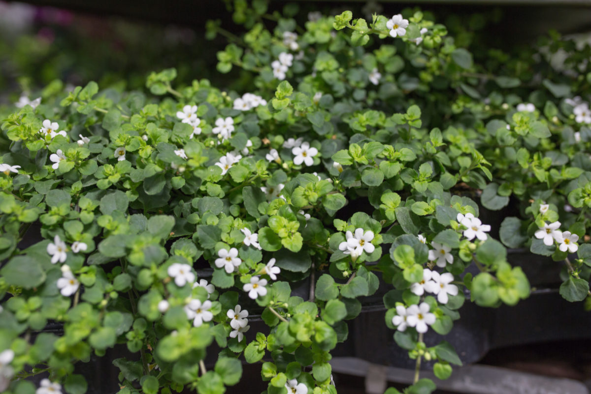 New Covent Garden Flower Market July 2017 Flower Market Report Rona Wheeldon Flowerona Bacopa Snowflake At Evergreen