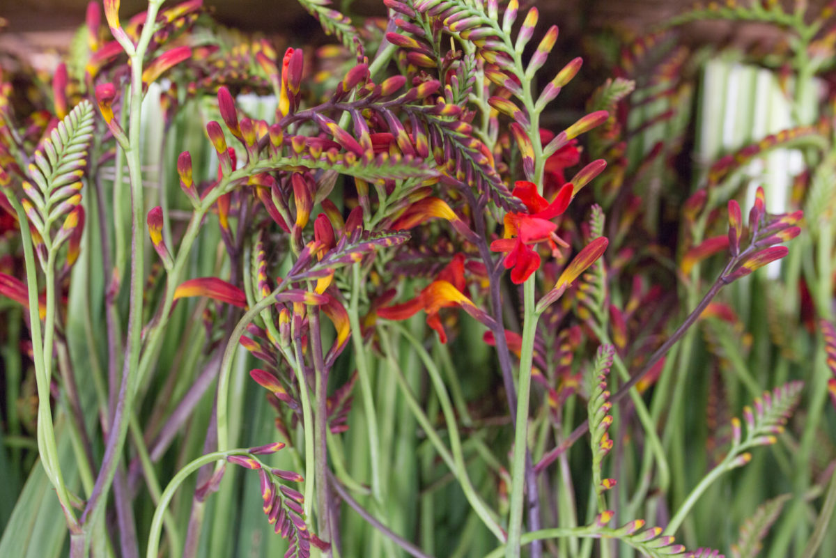 New Covent Garden Flower Market July 2017 Flower Market Report Rona Wheeldon Flowerona British Crocosmia Lucifer At Pratley