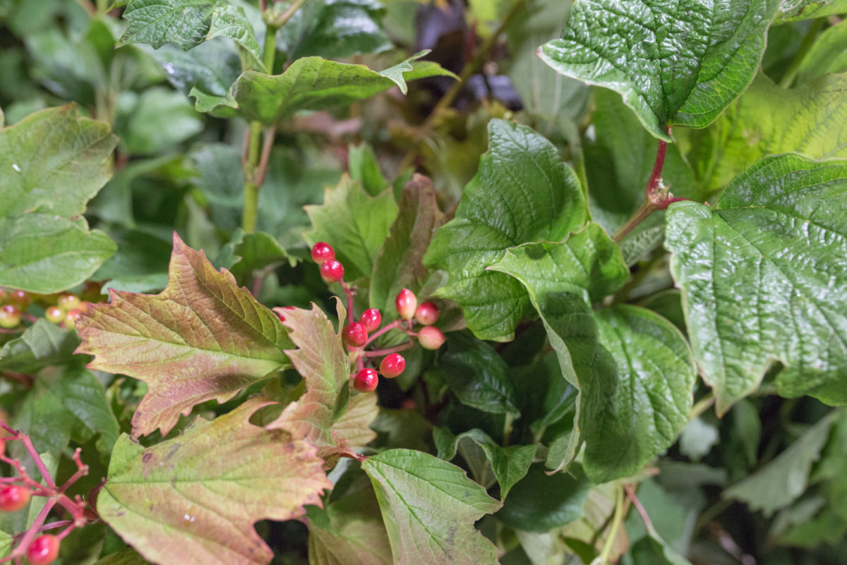 New Covent Garden Flower Market July 2017 Flower Market Report Rona Wheeldon Flowerona British Guelder Berry At Porters Foliage
