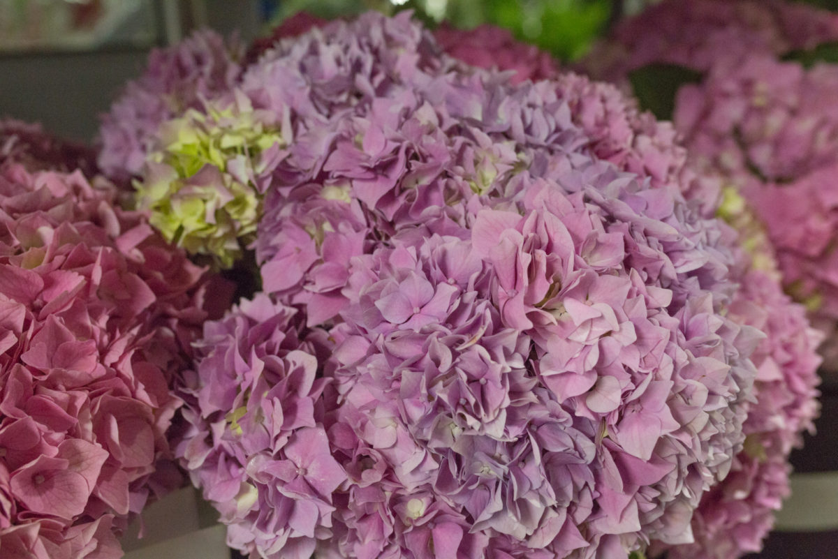 New Covent Garden Flower Market July 2017 Flower Market Report Rona Wheeldon Flowerona British Hydrangeas At Porters Foliage