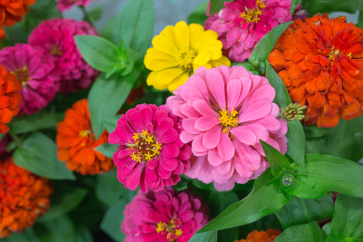 New Covent Garden Flower Market July 2017 Flower Market Report Rona Wheeldon Flowerona British Zinnia Plants At L Mills