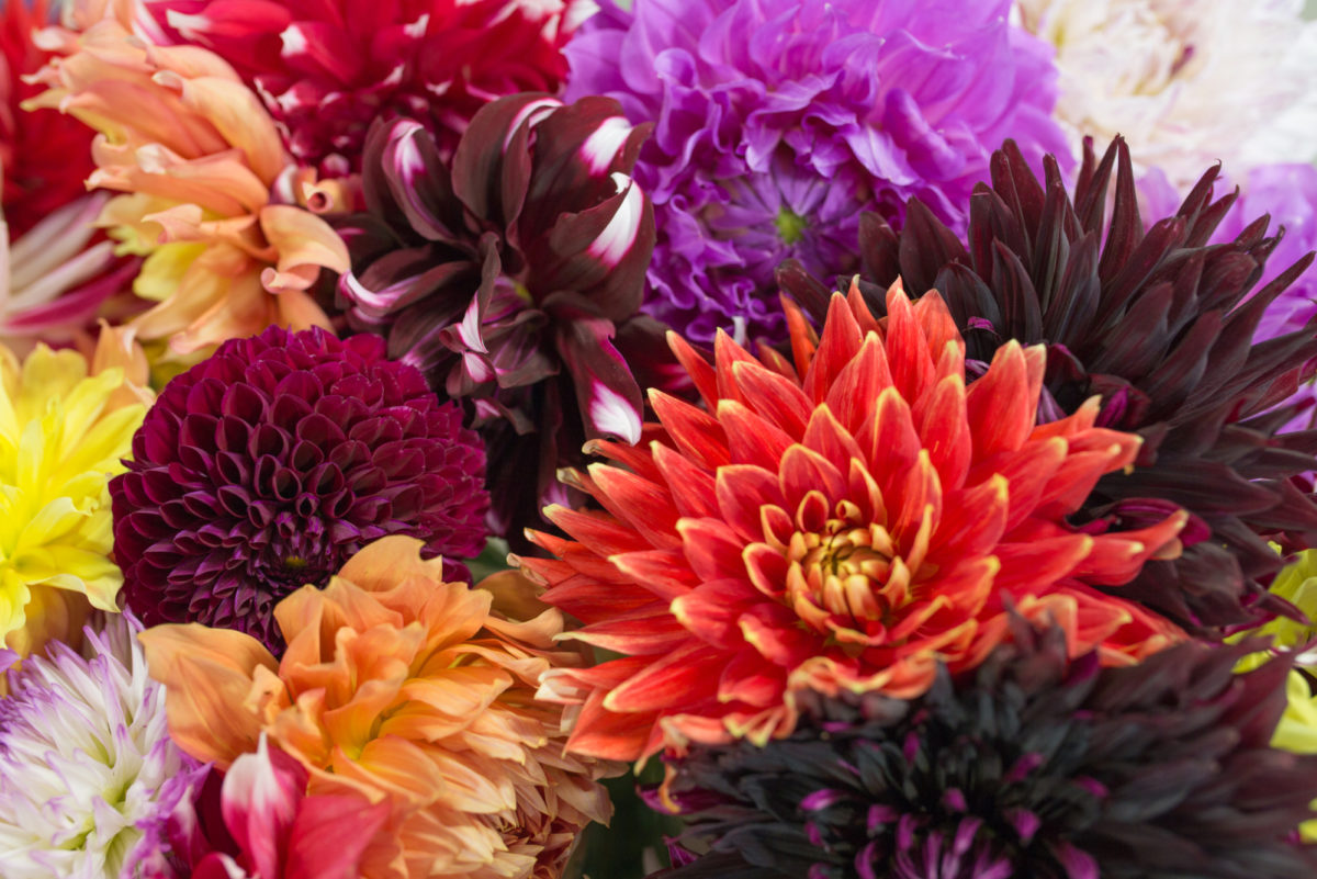 New Covent Garden Flower Market July 2017 Flower Market Report Rona Wheeldon Flowerona Dahlias At Dennis Edwards Flowers