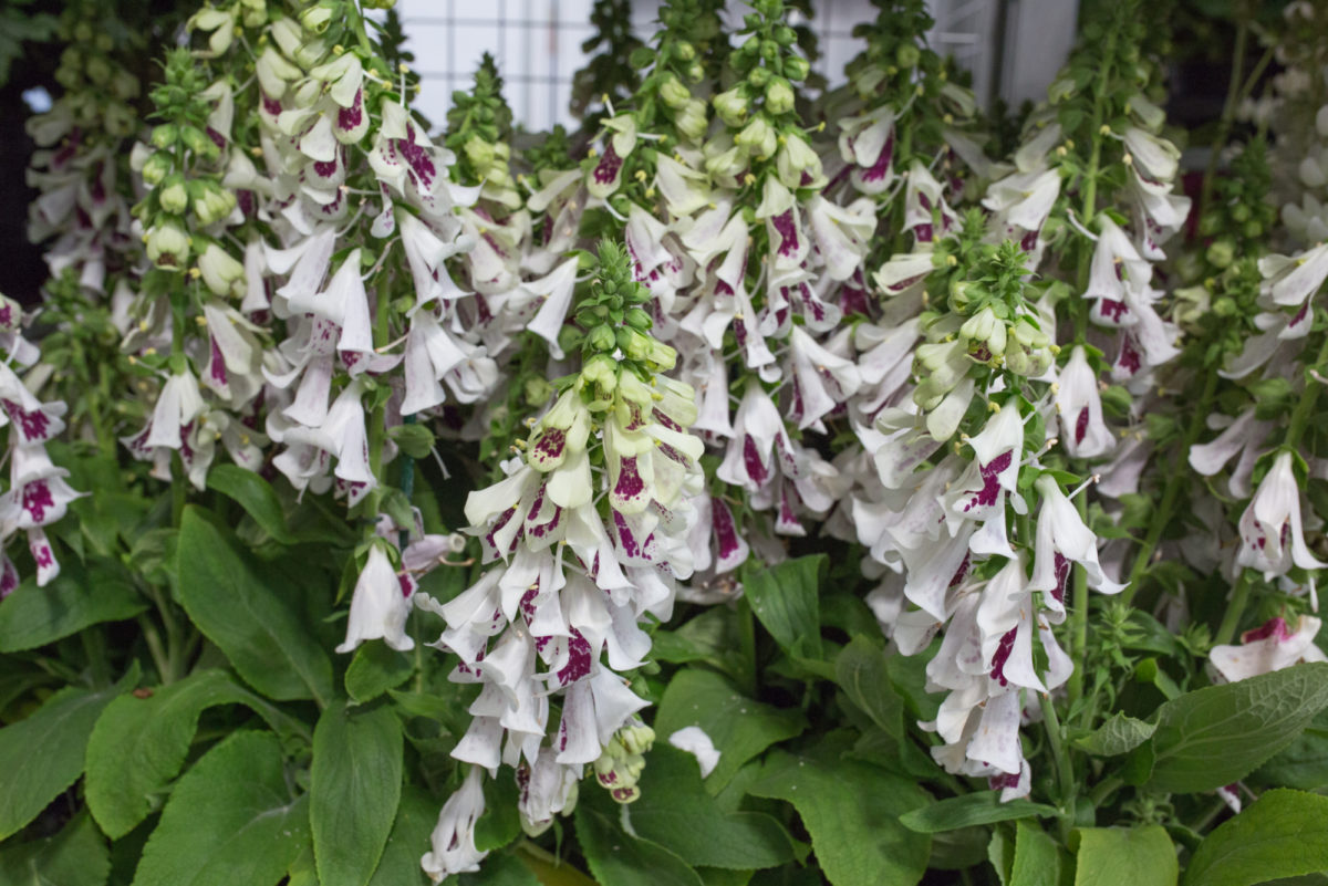 New Covent Garden Flower Market July 2017 Flower Market Report Rona Wheeldon Flowerona Digitalis Purpurea Double Beauty At Quality Plants