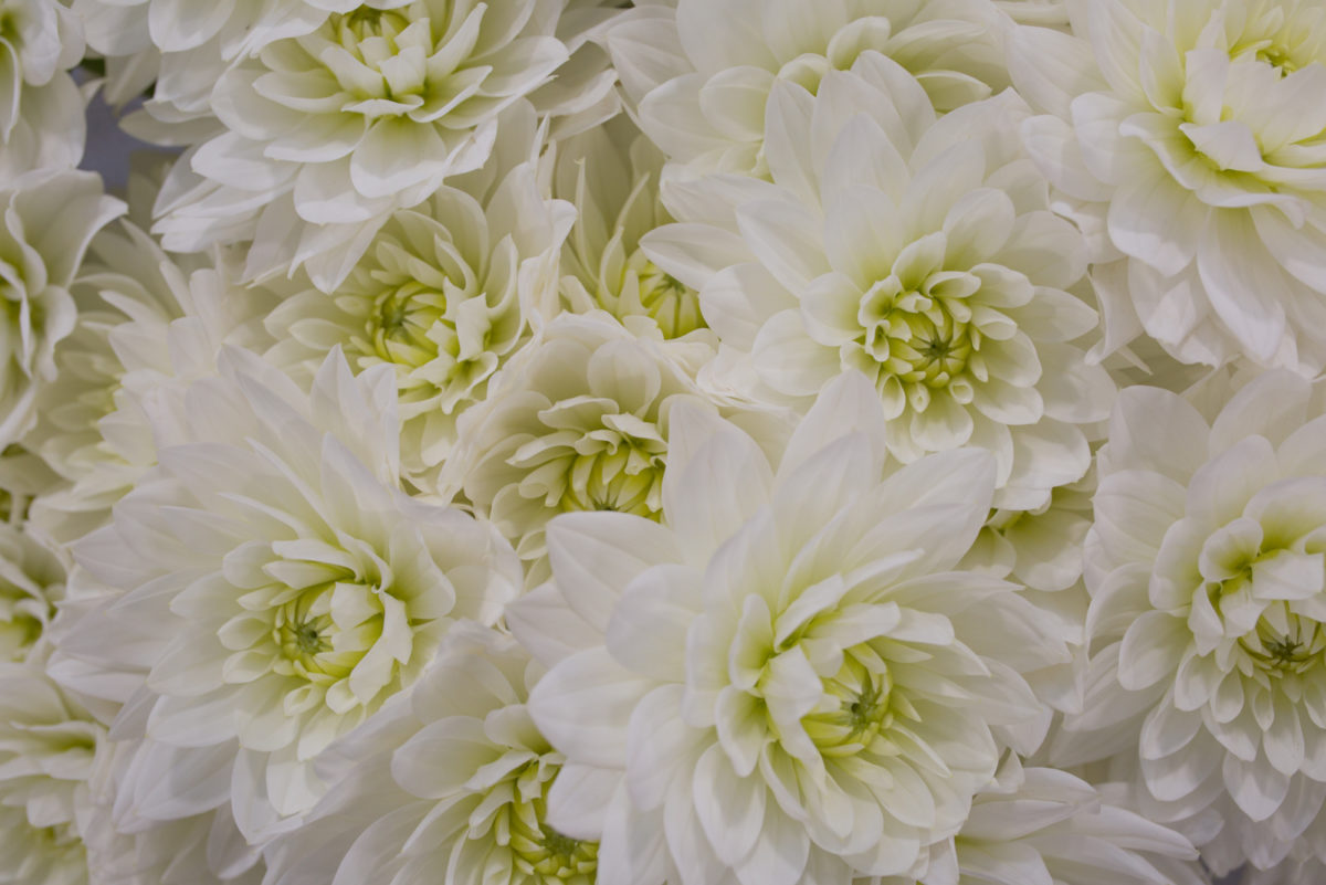 New Covent Garden Flower Market July 2017 Flower Market Report Rona Wheeldon Flowerona Karma Maarten Zwaan Dahlias At Bloomfield