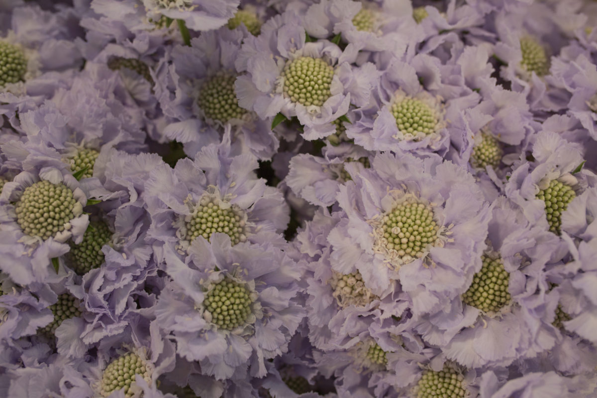 New Covent Garden Flower Market July 2017 Flower Market Report Rona Wheeldon Flowerona Scabiosa Caucasica Lisa At Bloomfield