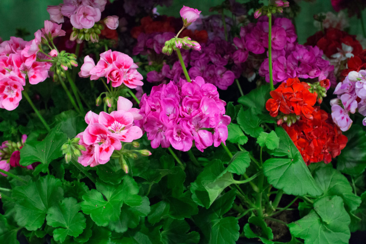 New Covent Garden Flower Market June 2016 Market Report Flowerona Hr 20A