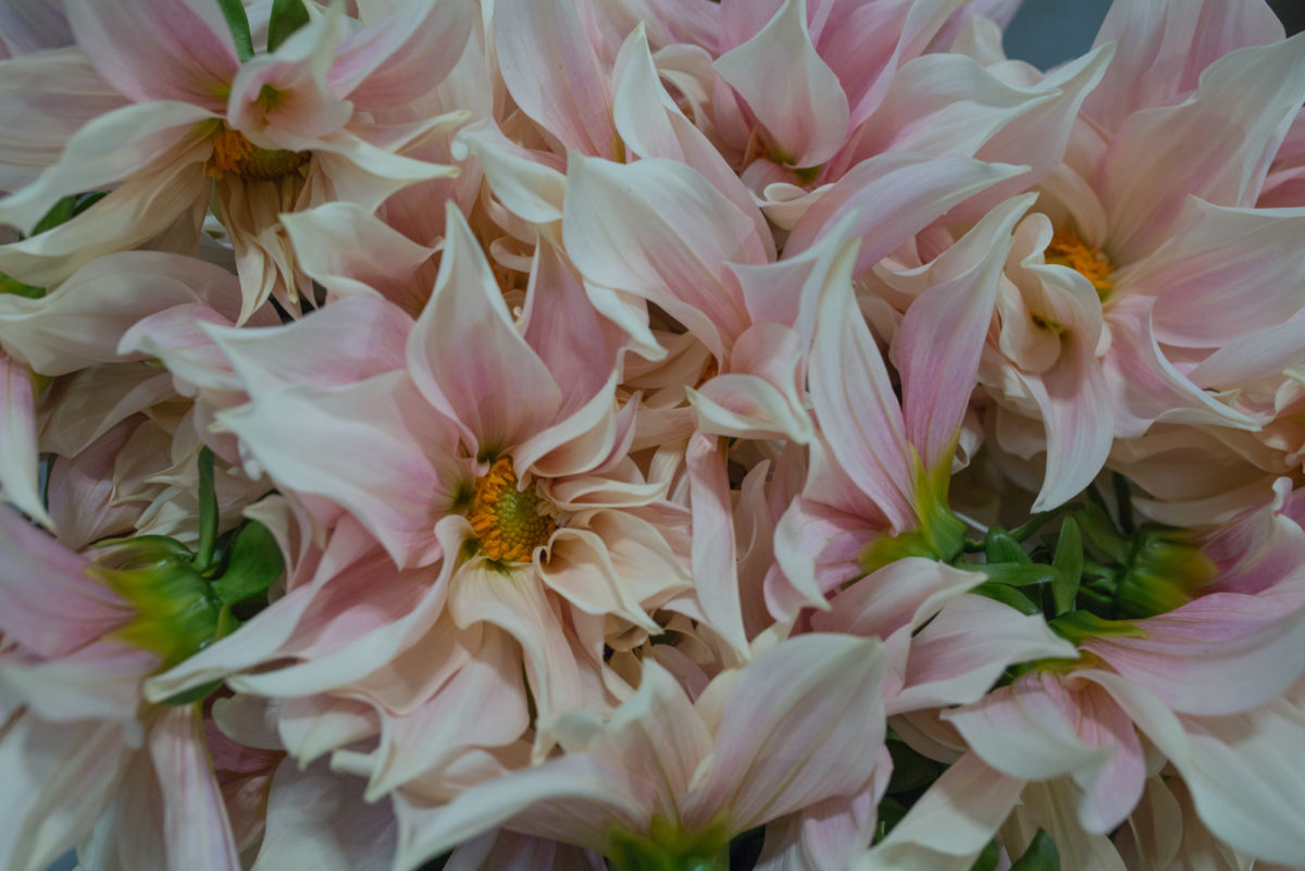 New Covent Garden Flower Market May 2017 Flower Market Report Rona Wheeldon Flowerona Cafe Au Lait Dahlias At Bloomfield