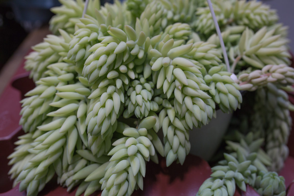 New Covent Garden Flower Market May 2017 Flower Market Report Rona Wheeldon Flowerona Sedum Morganianum Also Known As Burros Tail At Arnott Mason