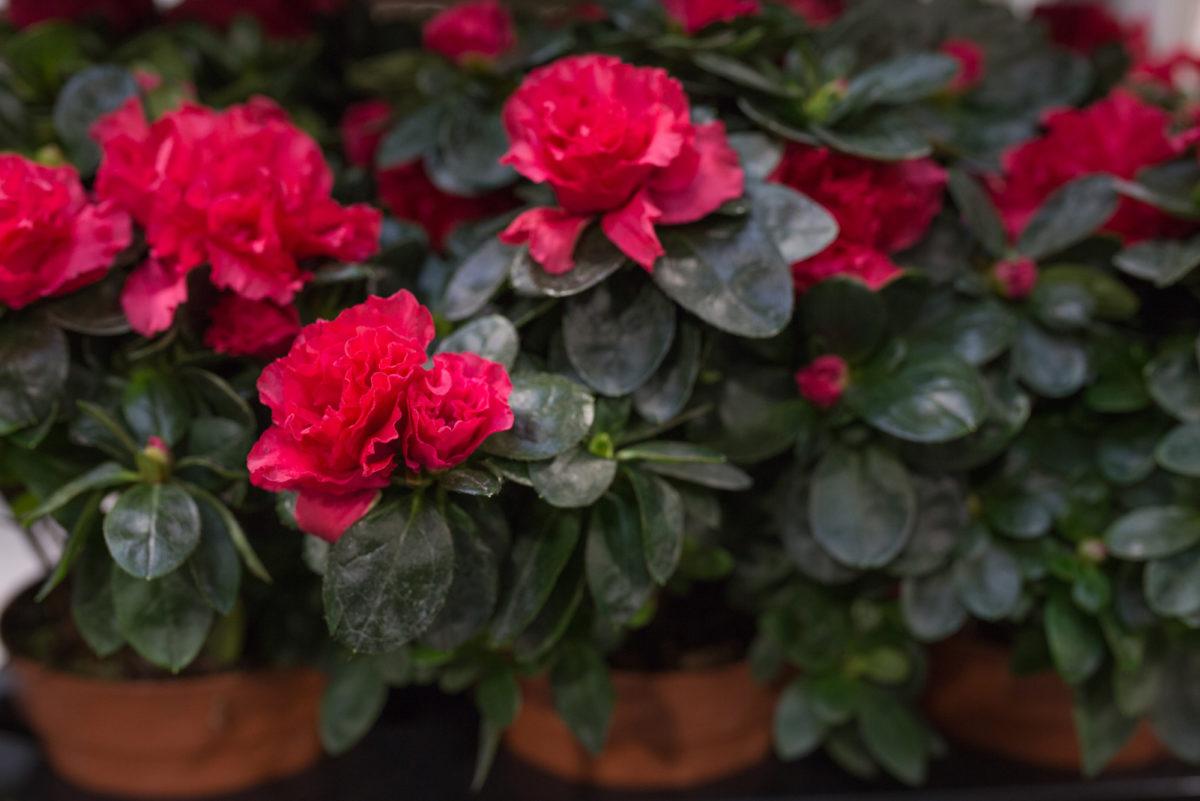 New Covent Garden Flower Market September 2017 Flower Market Report Rona Wheeldon Flowerona Azalea Plants At Arnott Mason 33