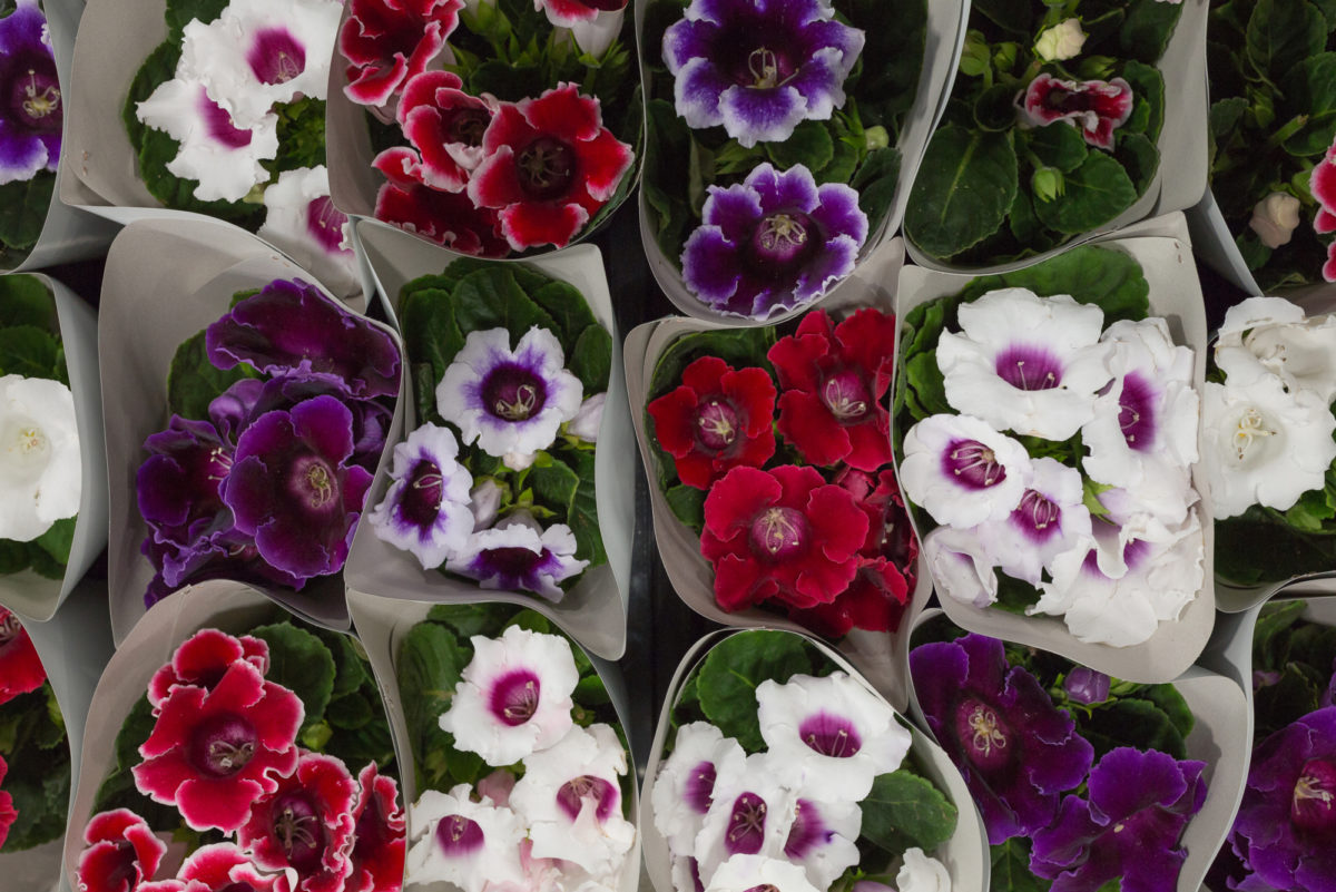 New Covent Garden Flower Market September 2017 Flower Market Report Rona Wheeldon Flowerona British Gloxinia Plants At L Mills 25