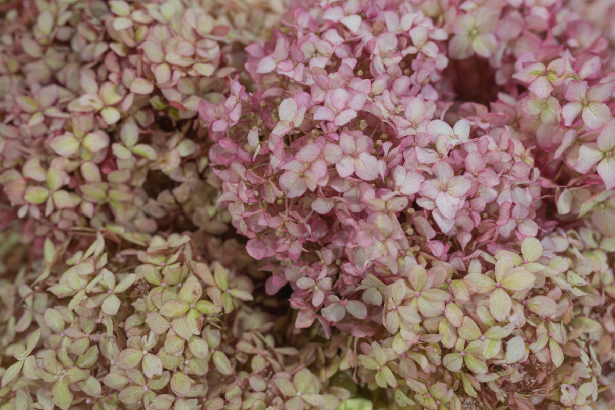 New Covent Garden Flower Market September 2017 Flower Market Report Rona Wheeldon Flowerona British Hydrangea Arborescens Ôçÿ Pink Annabelleôçö At Zest Flowers 4
