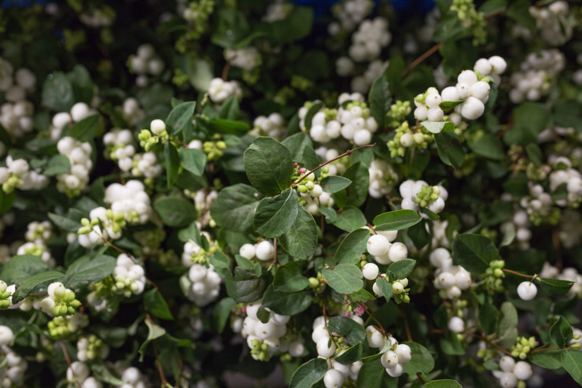 New Covent Garden Flower Market September 2017 Flower Market Report Rona Wheeldon Flowerona British White Snowberry Symphoricarpos At Porters Foliage 12