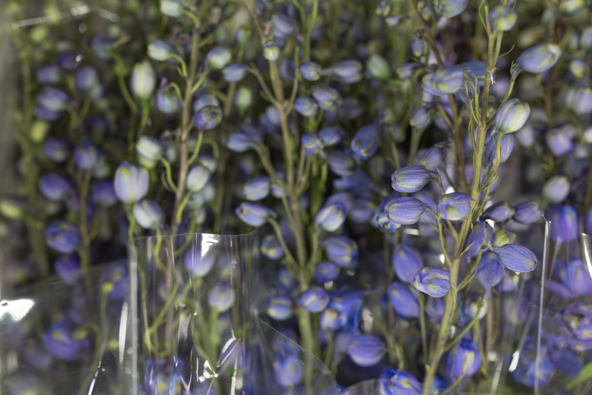 New Covent Garden Flower Market September 2017 Flower Market Report Rona Wheeldon Flowerona British Delphiniums At Pratley 6
