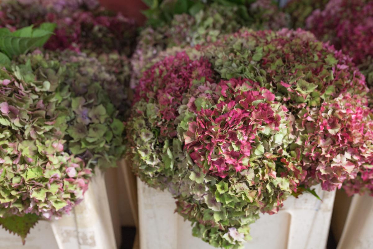 New Covent Garden Flower Market September 2017 Flower Market Report Rona Wheeldon Flowerona British Garden Hydrangea At Gb Foliage 9