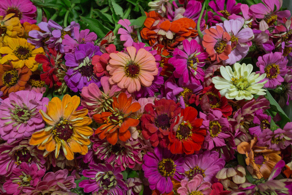 New Covent Garden Flower Market September 2017 Flower Market Report Rona Wheeldon Flowerona British Zinnias At Pratley 1