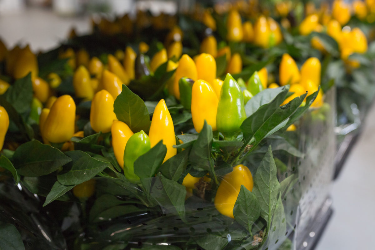 New Covent Garden Flower Market September 2017 Flower Market Report Rona Wheeldon Flowerona Capsicum Annum Ôçÿ Karnevalôçö At Evergreen 27