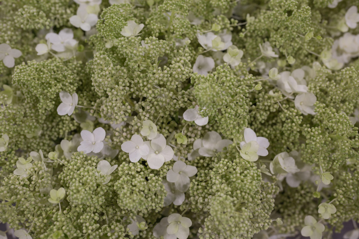 New Covent Garden Flower Market September 2017 Flower Market Report Rona Wheeldon Flowerona Hydrangea Paniculata Kyushu At Bloomfield 16