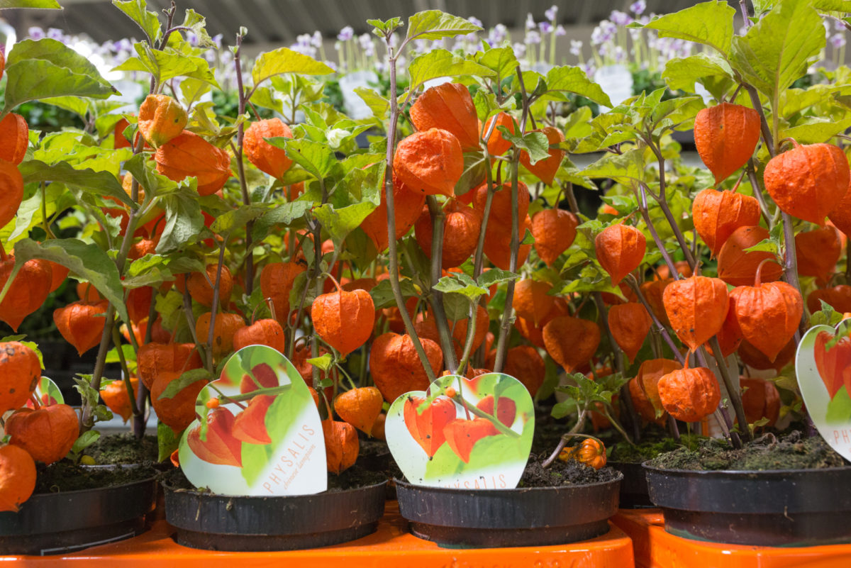 New Covent Garden Flower Market September 2017 Flower Market Report Rona Wheeldon Flowerona Physalis At Evergreen 28