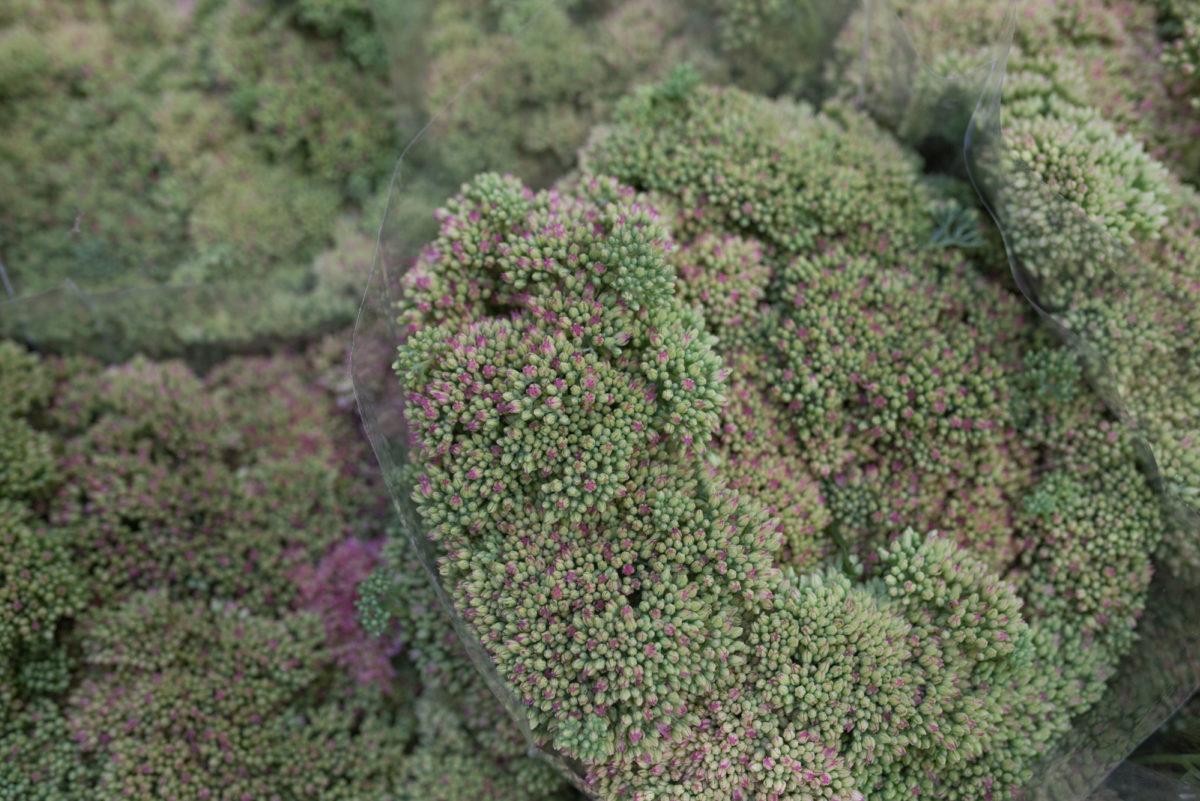 New Covent Garden Flower Market September 2017 Flower Market Report Rona Wheeldon Flowerona Sedum Spectabile In Green At R G French Sons 15